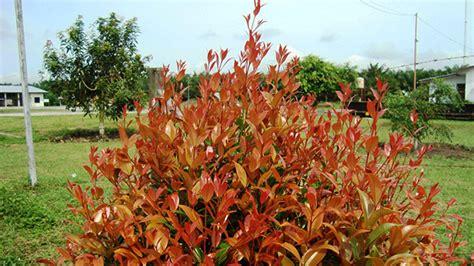 pucuk merah tanaman andal penyerap karbon greenersco
