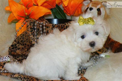 marshmallow puppy meet marshmallow a maltese puppy for sale for 1 295 fluff marshmallow