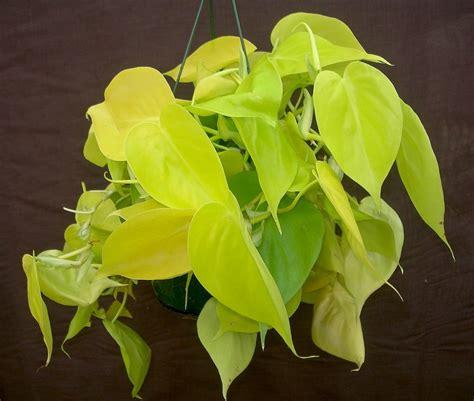 Philodenron Lemon philodendron scandens quot lemon lime quot â kvä tin 225 å stv 237 plantica
