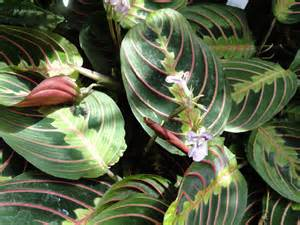 Flowering House Plants Identification Maranta Leuconeura Prayer Plant A Fascinating Green World