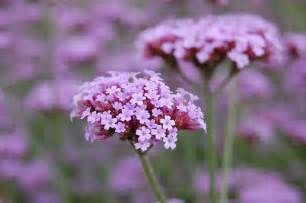 verbena bonariensis landscape architect s pages