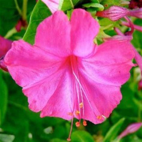 Jual Bibit Bunga Pukul Empat benih bunga pukul empat pink jual tanaman hias