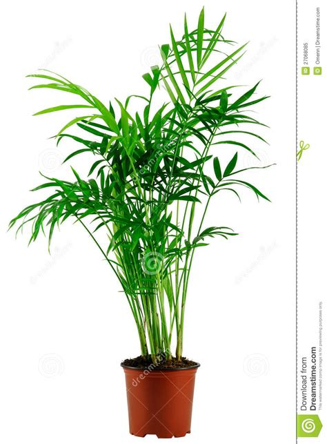 Indoor Tropical Foliage Plants - green howea palm tree in flowerpot royalty free stock photo image 27068085