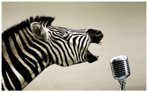 foto zebra design das zebra rockt noch immer domdesign dominik geisler