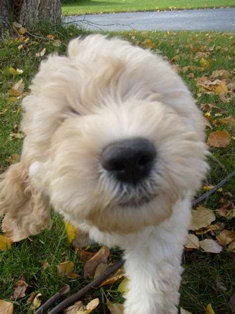 1000 Images About Snickerdoodles Goldendoodles On