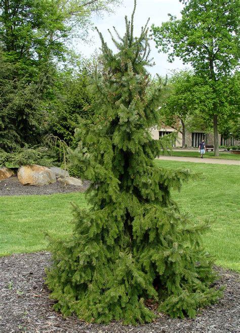 serbian spruce tree serbian spruce garden housecalls