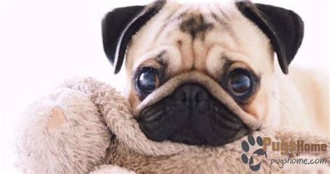 pugs in colorado buy a pug puppy in colorado read this pugs for sale tips