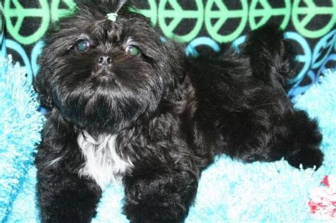 how much money is a shih tzu gorgeous black tuxedo shih tzu 14 weeks for sale in batesville indiana