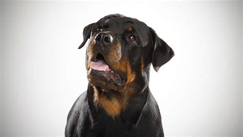 are rottweilers aggressive by nature these are the top 10 most dangerous breeds of dogs how africa news