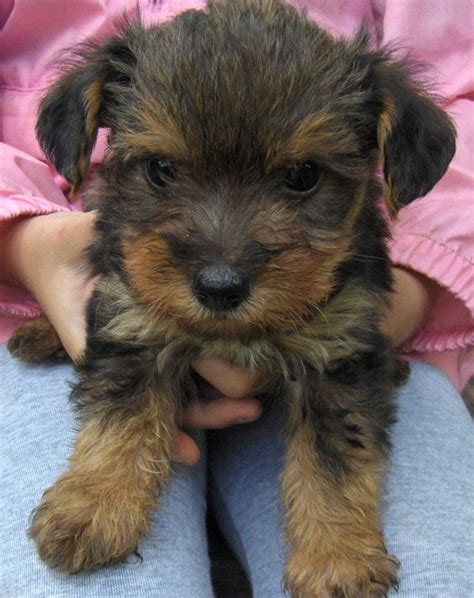 are yorkie poo dogs hypoallergenic yorkie poo hypoallergenic kee baby