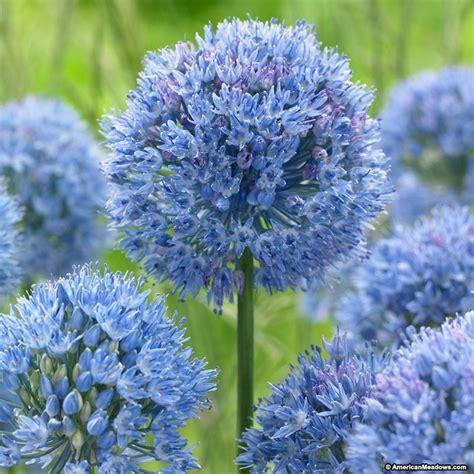 blue flower bulbs blue allium caeruleum american