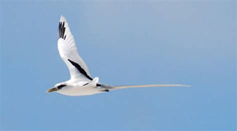 white tailed tropicbird hawaiian islands u s fish and