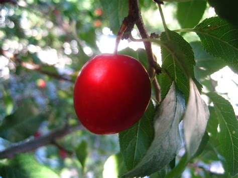 little house in colorado cherry plum picking and homemade jam