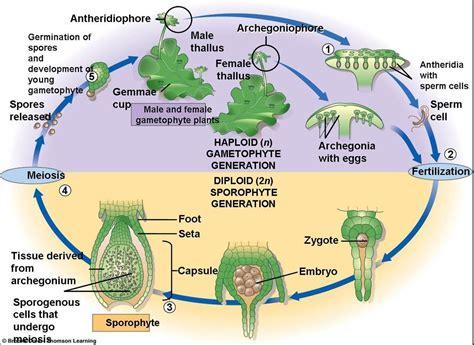 liverwort cycle diagram bio 2 lab practical 1 at florida gulf coast