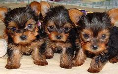 yorkie peekapoo puppies yorkie poo puppies for sale at heavenly puppies