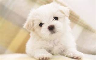 Maltese Puppies Natures Mighty Pictures Nature Photos Nature Wallpapers