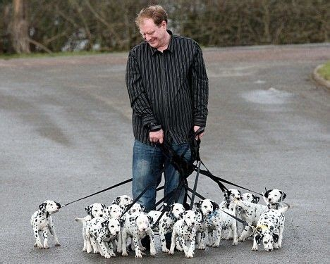 how many dalmatian puppies are in pongo and perdita s litter best 25 dalmatians ideas on dalmatian dalmatian puppies and dalmations