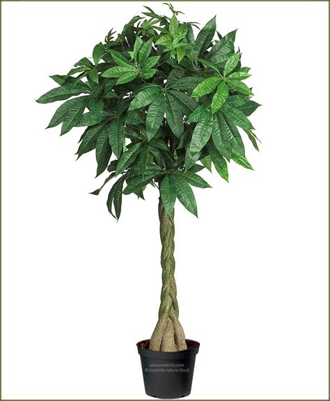 large braided money tree indoor office plants by 5 braided money tree pachira aquatica 125 cm