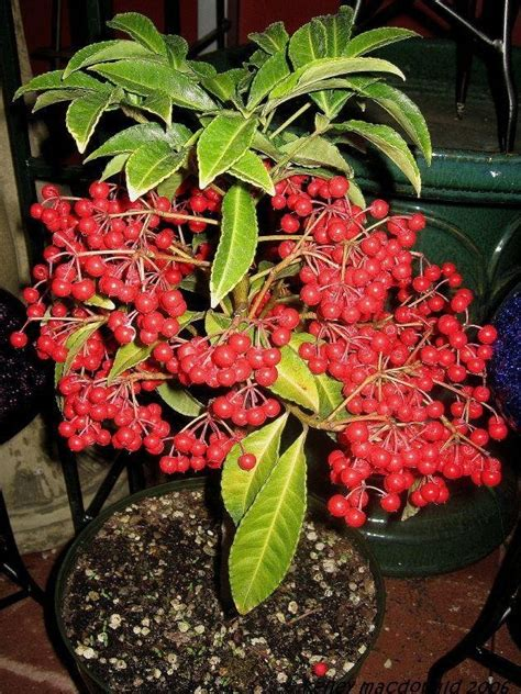 plantfiles pictures coral ardisia hens eyes hilo holly
