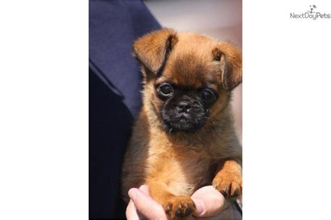 brussels griffon puppies for sale brussels griffon for sale for 900 near south bend michiana indiana 2eaadad3 5d31
