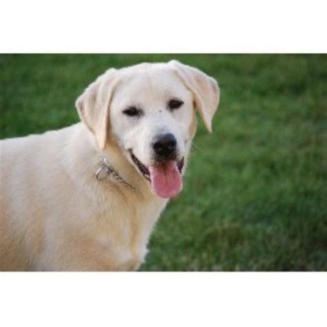 lab puppies for sale in central illinois regal labradors llc labrador retriever breeder in