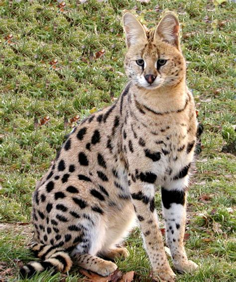 serval cat pictures images