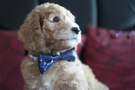goldendoodle puppies for sale rochester ny goldendoodle puppies for sale goldendoodle breeder ny