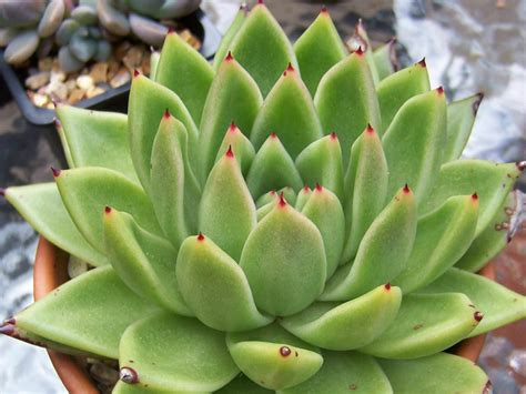 echeveria agavoides molded wax world of succulents