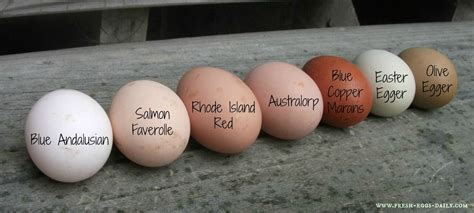 fresh eggs daily  rainbow  egg colors olive eggers
