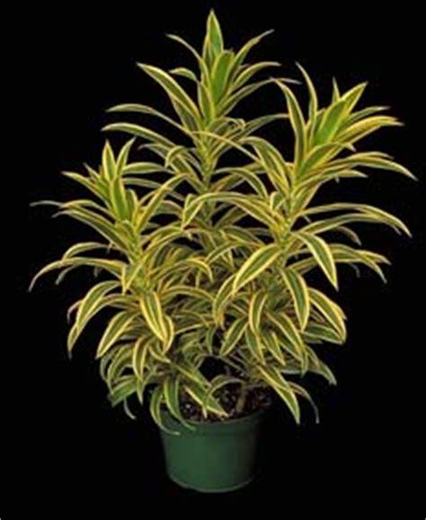 Tanaman Yellow Dracaena dracaena song of india