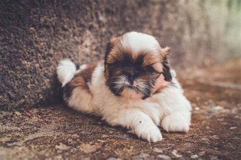 shih tzu rate we rate the top foods for your shih tzu 7 brands to try