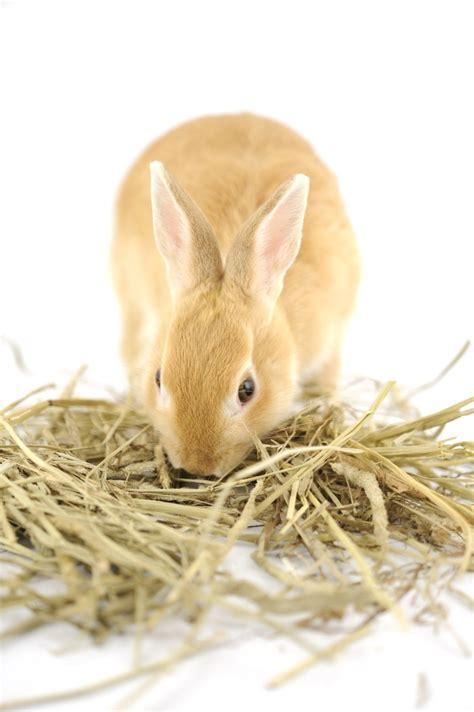 coniglio alimentazione quanto devono mangiare i conigli pets vets