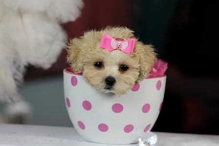 yorkie poo for sale hshire 1000 ideas about mini poodles on poodles shih poo and poodles