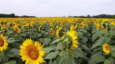 sunflower fields sunflower field www imgkid com the image kid has it