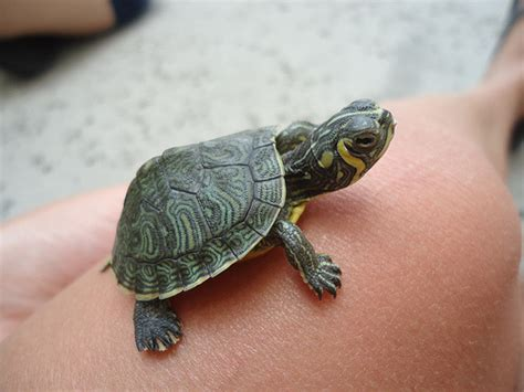 baby turtle on Tumblr