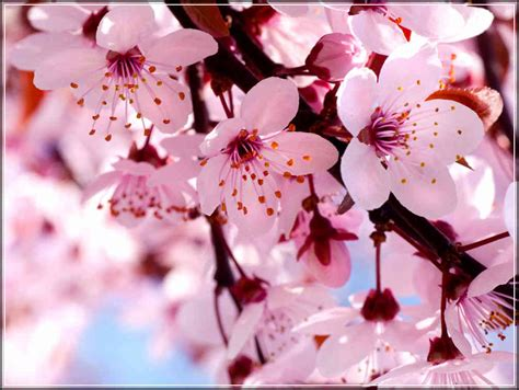 Sakura Flower Meaning And Symbolism In Japan Japanese Cherry Blossom Flower