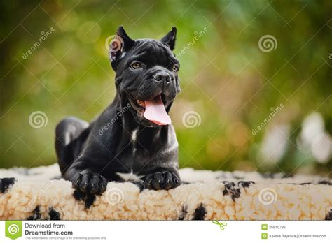 black corso puppies black corso puppy lying on a rug royalty free stock image image 26810736