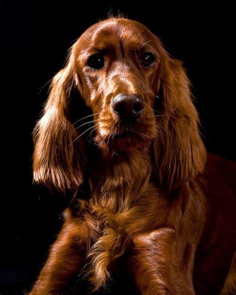 irish setter outside dog 126 best irish setter images on pinterest irish setter