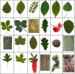 British trees leaves bark and berries quiz by spikeharby