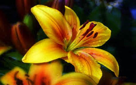 golden lily flower yellow nature  wallpaperscom