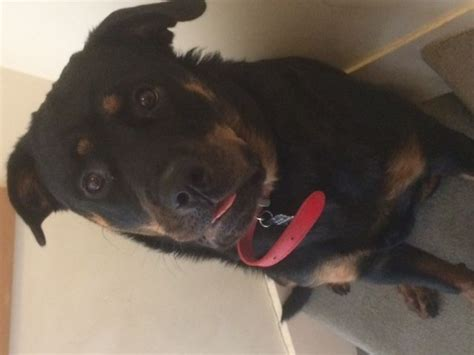 1 year rottweiler 1 year rottweiler for sale liphook hshire pets4homes