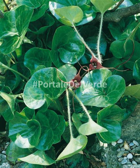 piante tappezzanti perenni fiorite asarum europaeum piante perenni tappezzanti