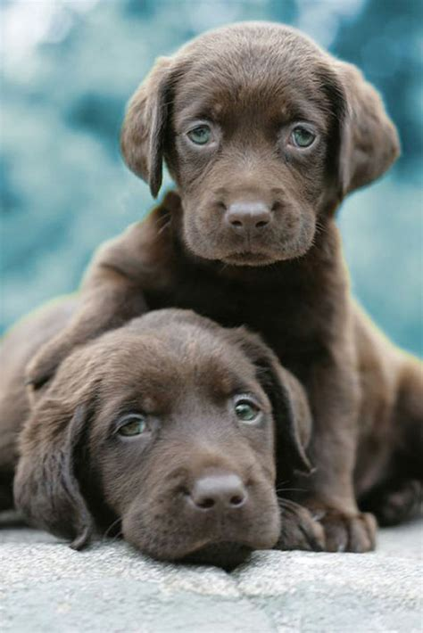 chocolate dogs chocolate labrador puppies pictures breeds picture