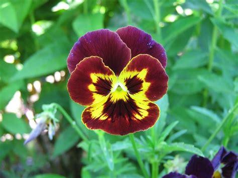 fiori pensiero viola pensiero viola tricolor piante annuali la