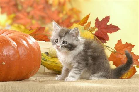 wallpaper chat automne kawaii neko 100 cute japanese cat names with their meanings
