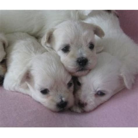 havanese rescue australia rosses grand havanese havanese breeder in portage michigan