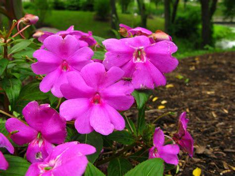 Image Of Garden Flowers File Pink Flowers Garden Forestwander Jpg Wikimedia Commons