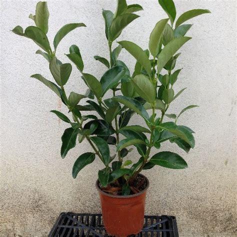 viburno in vaso viburnum lucidum viburno lucido vaso 16 248 offerta