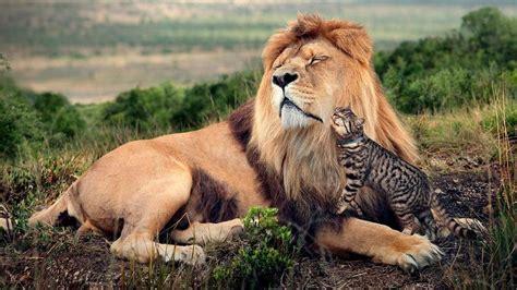Imagenes De Leones Y Gatos | el cazador que tem 237 a a los gatos blogs de loading