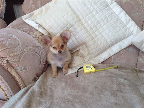 chihuahua dog houses very small chihuahua dog 90ps house trained all va ammanford carmarthenshire